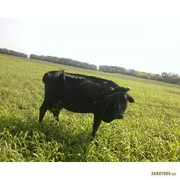 Продам молоду корову