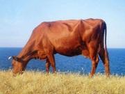 Продаю корову - червона степова